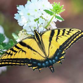 Tiger Swallowtail Butterfly by Judi Dressler