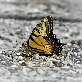 Tiger Swallowtail in Selective by Carmen Macuga