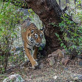 Tigress emerging by Pravine Chester