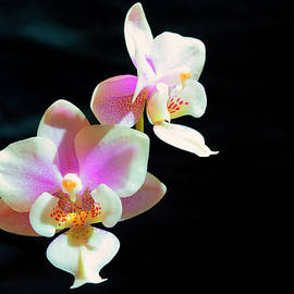 Tiny Orchids by Denise Harty