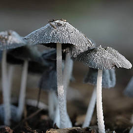 Tiny Umbrella Mushrooms