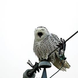 Tired Snowy Owl by Debbie Oppermann