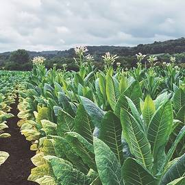 Tobacco Field by Jess Wright-Anderson