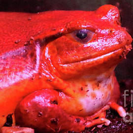 Tomato Frog-3674 by Gary Gingrich Galleries
