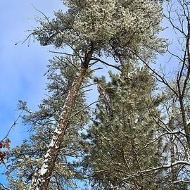 Towering Jack Pine by Ann Brown
