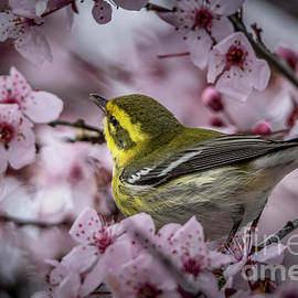 Townsend's Warbler by Mitch Shindelbower