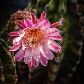 Traveling Pink Cactus by Robert Bales