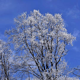 Tree crown dressed in winter frost by Tibor Tivadar Kui