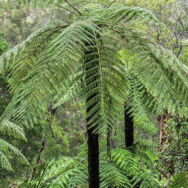 Tree Ferns by Bette Devine