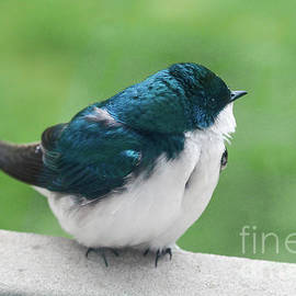 Tree Swallow by Megan McCarty