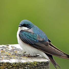 Tree Swallow On Wood by Debbie Oppermann