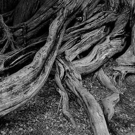 TreeRoots-6381 by Gary Gingrich Galleries