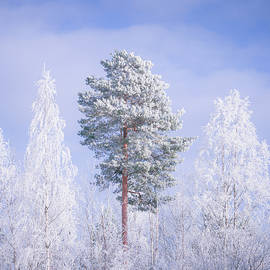 Trees covered in frost by Juhani Viitanen