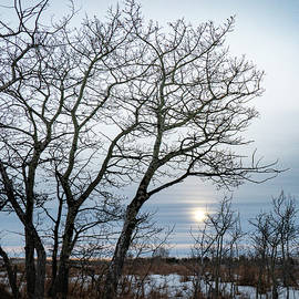trees on an Alberta winter afternoon  by Karen Rispin
