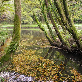 Trees Overhanging the Abandoned Tamar Manure Navigation Canal Cornwall by Richard Brookes