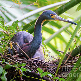 Tri-colored Heron Nesting by Norma Brandsberg