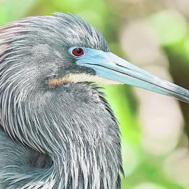 Tricolor Heron Flirt by Felipe Correa