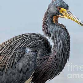 Tricolored Heron by Jennifer Jenson