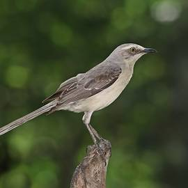 Tropical Mockingbird by Marlin and Laura Hum