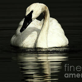 Trumpeter Swan - Beauty out of darkness by Sue Harper