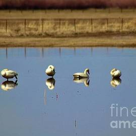 Trumpeter Swan reflections  by Marla Steinke