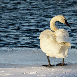 Trumpeter Swan Ruffled Back by Patti Deters