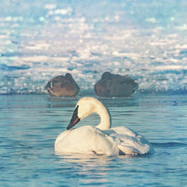 Trumpeter Swan Waking with Two Ducks by Patti Deters
