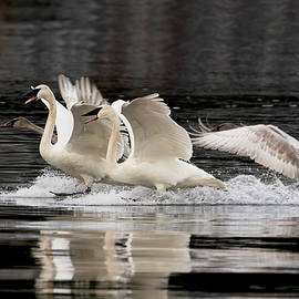 Trumpeter Swans - A Graceful Landing by Peggy Collins