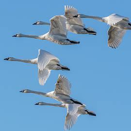 Trumpeter Swans Flying #6 by Morris Finkelstein
