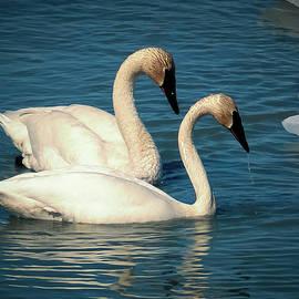 Trumpeter Swans on Tagish Lake by Richard Smith