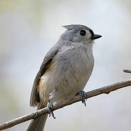 Tufted Titmouse Portrait by Marlin and Laura Hum