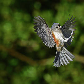 Tufted Titmouse by Stuart Harrison