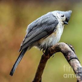 Tufted Titmouse With Head Tilt by Cindy Treger