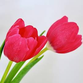 Tulip And One Behind by Alida M Haslett