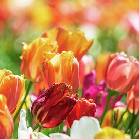 Tulip Delight by Mary Ann Artz