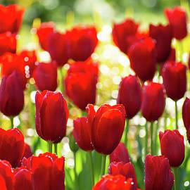 Tulip Dream by Mary Ann Artz
