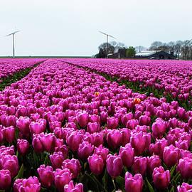 Tulip farming 2021 by Juergen Hess