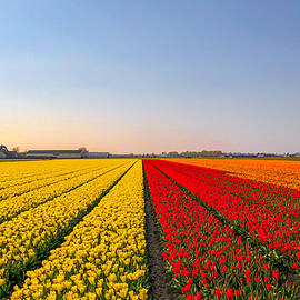 Tulip fields by Sarah Vanheel