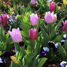 Tulip Garden by Donna Kennedy