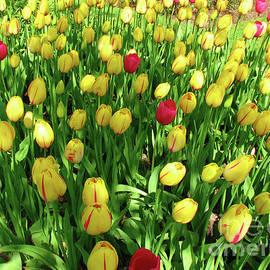 Tulip Mix - Keukenhof Gardens by Kathryn Jones