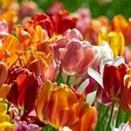 Tulip Panorama by Mary Ann Artz