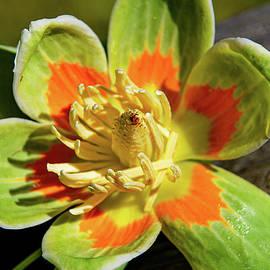 Tulip Poplar Flower 2 by Linda Segerson