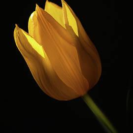 Tulip by Sam Cox