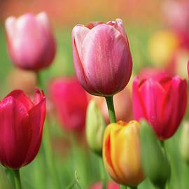 Tulip Sorbet by Mary Ann Artz