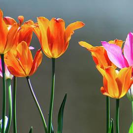 Tulip Sunshine by Mary Ann Artz