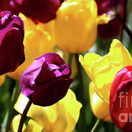 Tulips-7268 by Gary Gingrich Galleries