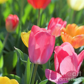 Tulips-7603040906a by Timothy Bischoff