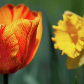 Tulips And Daffodils by Karol Livote