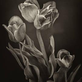 Tulips in Sepia by Eleanor Bortnick