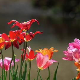 Tulips in Sunlight by Mary Ann Artz